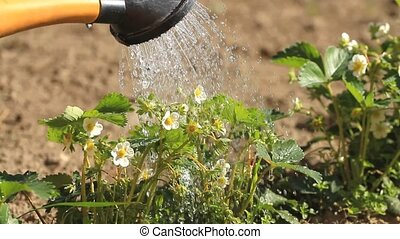 Pouring a blooming strawberry from a watering can