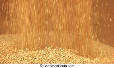 Pouring corn grain after harvest, close up. Falling yellow...