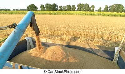 Pouring corn grain into tractor trailer after harvest....
