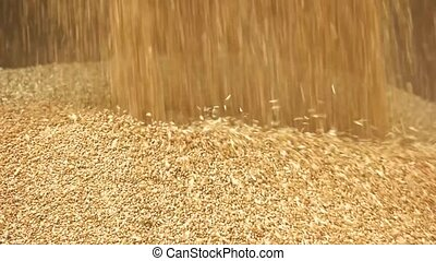 Pouring golden paddy seeds in a pile. Close up falling wheat...