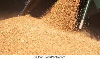Pouring grain in the pile. Close up flowing grain cereals in...