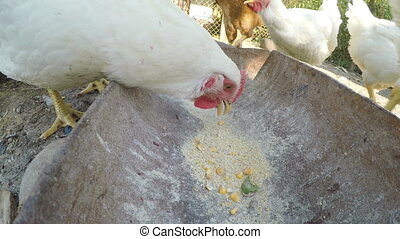 Pouring grains in a trough and chicks eating at a farm