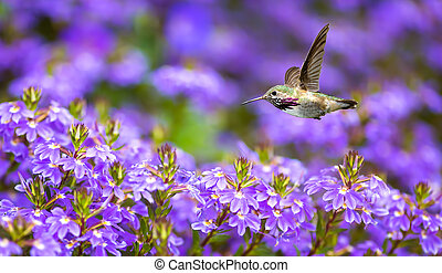 pourpre, annas, fleur, vol, colibri