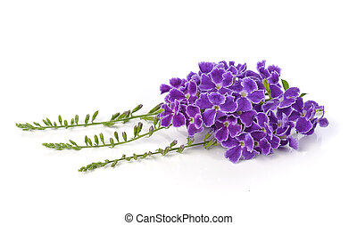 pourpre, arrière-plan., fleurs blanches, isolé