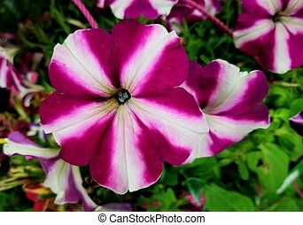 pourpre, blanc, fleur, fleurs, entiers, pétunia