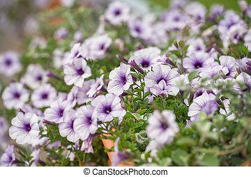 pourpre, blanc, pétunia, fleurs