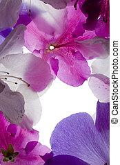 pourpre, cadre, fleur