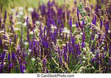 pourpre, champ, fleurs, lavande