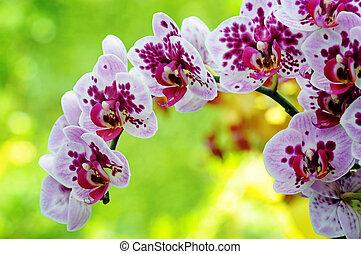 pourpre, closeup, orchidée
