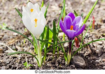 pourpre, colchique, closeup, vernus, fleurs blanches