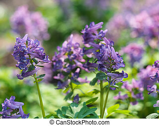pourpre, corydalis, forêt, fleur, printemps