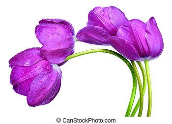 pourpre, couvert de rosée, isolé, tulipes