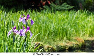 pourpre, devant, eau, iris