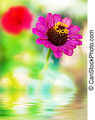 pourpre, eau, fleur, reflet, frais