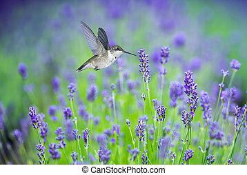 pourpre, entouré, lavande, mouvement, fleurs, colibri