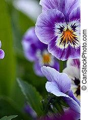 pourpre, fleur source, jardin