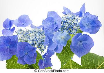 pourpre, hortensia, bleuâtre