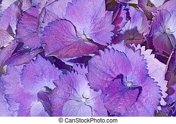 pourpre, hortensia, fleur, fond