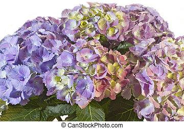 pourpre, hortensia, fleur