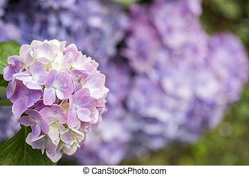pourpre, hortensia, fleur, pâle