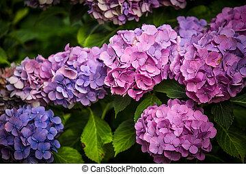 pourpre, hortensia, jardin fleur