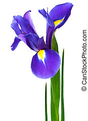 pourpre, iris