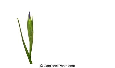 pourpre, iris, fleur, chronocinématographie