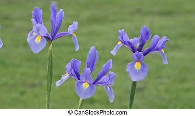 pourpre, iris, fleurs, fleur