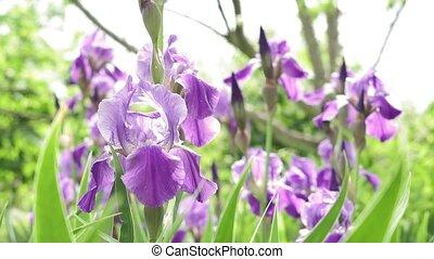 pourpre, irises., fleur, beau, paysage, fleurs, champ,...