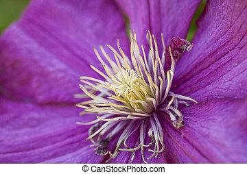 pourpre, macro, flower.