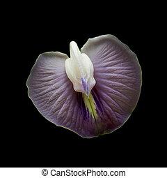 pourpre, noir, isolé, fond, orchidée