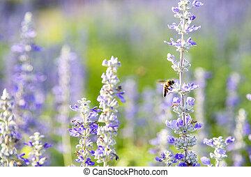 pourpre, officinalis), fleurs, closeup, (salvia