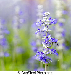 pourpre, officinalis), fleurs, closeup, (salvia