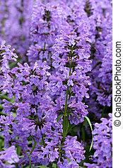 pourpre, officinalis), fleurs, hysope, (hyssopus