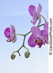 pourpre, orchidées