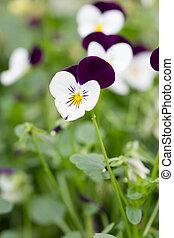pourpre, pensée, fleurs blanches, champ