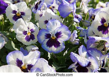 pourpre, pensée, fleurs, violet