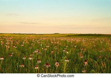 pourpre, prairie, coneflowers, wah'kon-tah