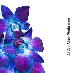 pourpre, profond, orchidée