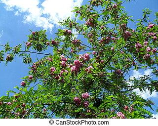 pourpre, robe, fleurir, locuste, arbre.