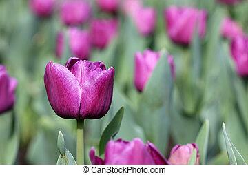 pourpre, tulipe, fleurs, saison ressort