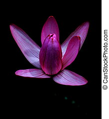 pourpre, tulipe