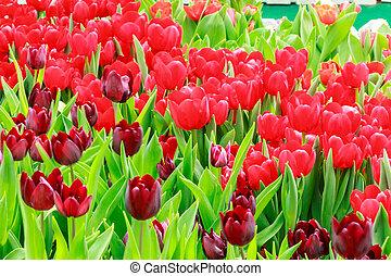 pourpre, tulipe, rouges