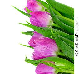 pourpre, tulipes, frontière
