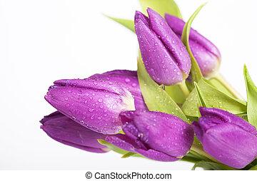pourpre, tulipes