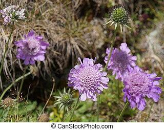 pourpre, wildflowers, -, scabios