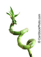 pousse, bambou