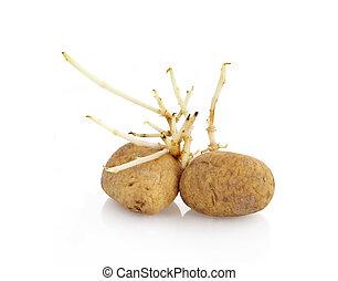 pousser, fond, pommes terre, blanc