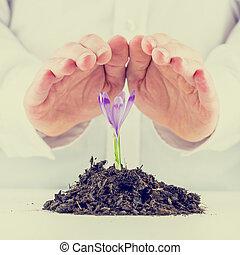 pousser, printemps, homme, freesia, protéger