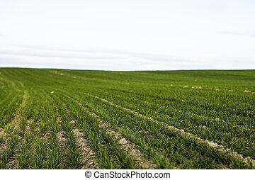 pousser, soil., fin, proces., agricole, jeune, rye., haut, ...